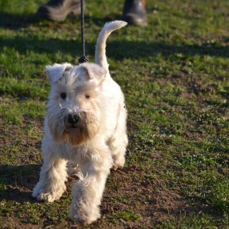 Valpkurs för hundar med vuxen höjd 39cm